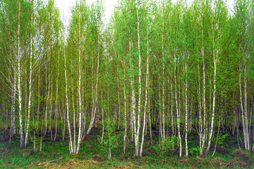Fototapeta Las Grove of young birches