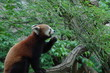 草を食べるレッサーパンダ