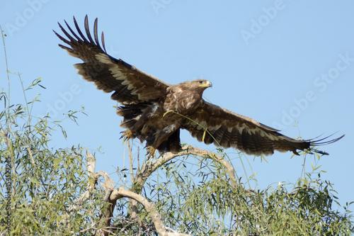 Poster Aigle The steppe eagle (Aquila nipalensis)