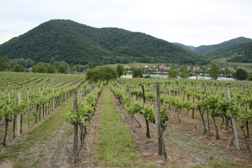 Fototapeta na wymiar Pattern of rows of grape vines in vineyard in the Wachau Valley on the banks of River Danube in Austria