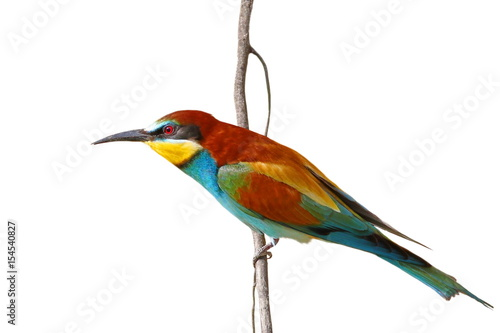 Photo European bee-eater isolated on white background, Merops apiaster