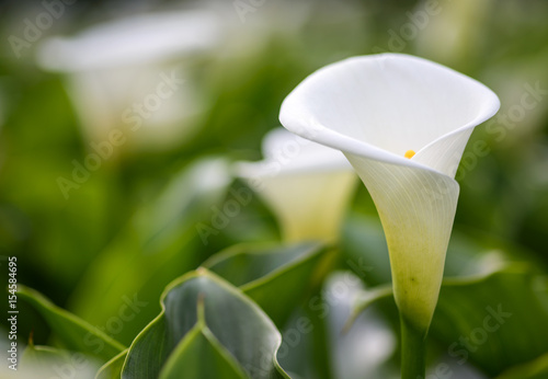 Fotografie, Obraz  Close up  of beautiful white Arum Lily
