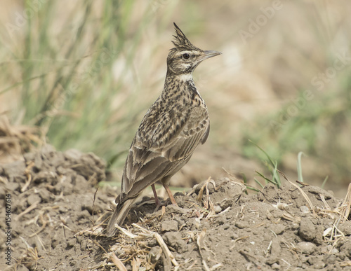Fotografija Crested lark stood in rural field meadow