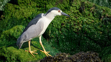 A Black-crowned Night-heron Fishing From The Rocks Along Barnegat Bay, New Jersey