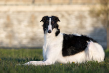 Russian Borzoi Dog Posing Outdoors In Summer