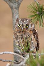 The Eurasian Scops Owl (Otus Scops) Or The European Scops Owl Or Just Scops Owl Sitting On A Branch Of Pine