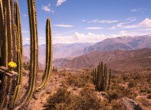 The Cacti In The Colca Canyon In Peru. South America