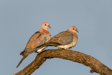 Laughing Dove Pair