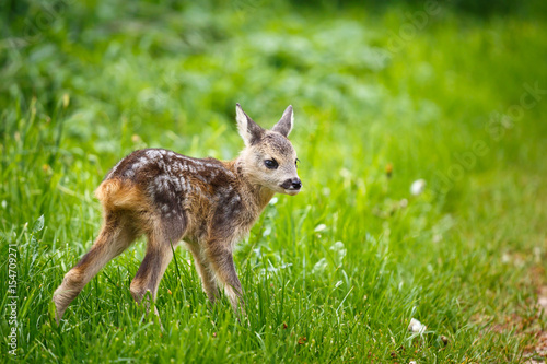 Young wild roe deer in grass, Capreolus capreolus плакат
