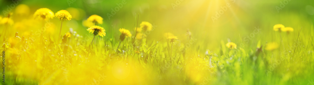 Fototapety, obrazy: Green field with yellow dandelions. Closeup of yellow spring flowers on the ground