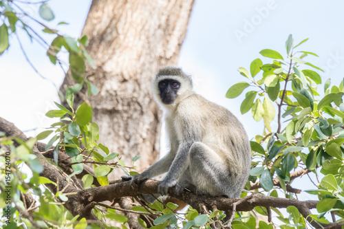 Fotografie, Obraz  Vervet Monkey (Chlorocebus pygerythrus) in Tree in Northern Tanzania