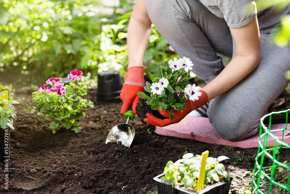 Fototapety, obrazy: Gardener planting flowers in the garden, close up photo.