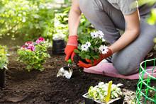 Gardener Planting Flowers In T...