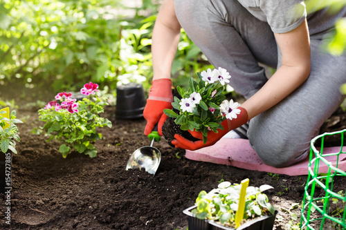 Gardener planting flowers in the garden, close up photo. Wallpaper Mural