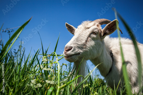 Fotografia Portrait of a goat chewing