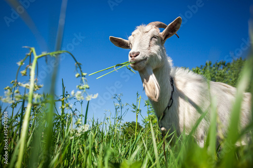 Stampa su Tela Portrait of a goat chewing