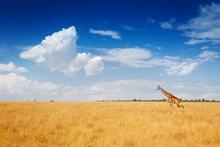 Kenyan Savanna With Giraffe Walking In Dried Grass