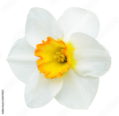 White and orange narcissus flower isolated on white