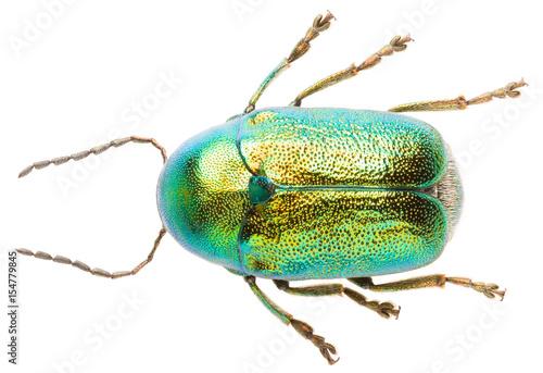 Fototapeta Leaf beetle Cryptocephalus solivagus isolated on white background, dorsal view of cylindrical leaf beetle