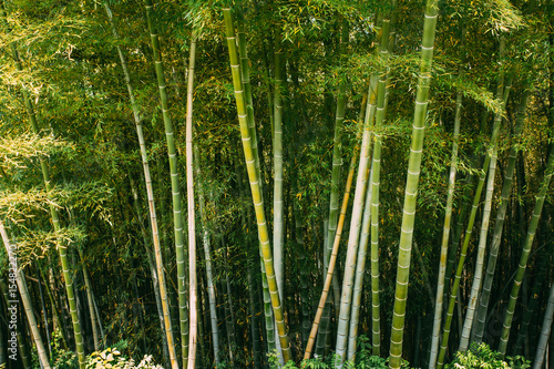 Foto op Plexiglas Bamboe Spring Tall Trees Bamboo Woods. Tropical Forest, Summer Nature.