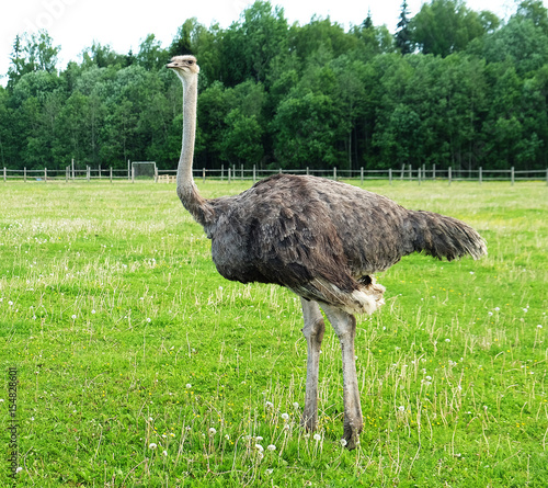 Autocollant pour porte Autruche ostrich on grass, summer time