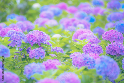 La pose en embrasure Hortensia 紫陽花
