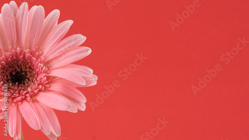 Pink Gebera flower on red background with copy space