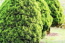 Picea Glauca Conica Dwarf Decorative Coniferous Evergreen Tree. Also Known As Canadian, Skunk , Cat , Black Hills, Alberta White Spruce