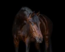 Chestnut Horse On Black Background Isolated