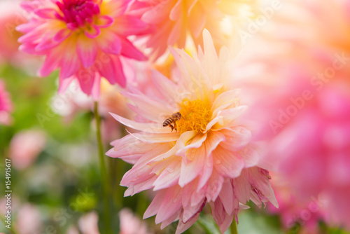 Poster de jardin Dahlia colorful of dahlia pink flower in Beautiful garden