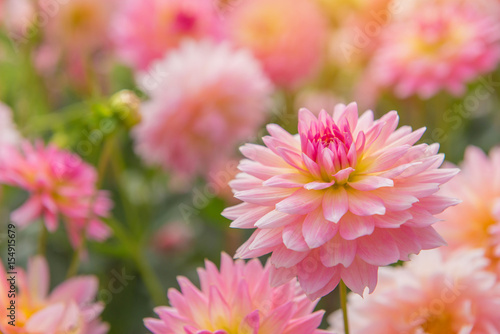 Poster Dahlia colorful of dahlia pink flower in Beautiful garden