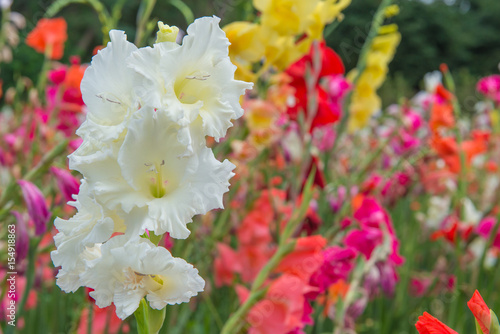 Photo Bunch of colorful Gladiolus flowers in beautiful garden