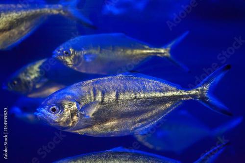 Fotografija  Atlantic horse mackerel (Trachurus trachurus).