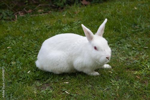 Fotografie, Obraz  White rabbit