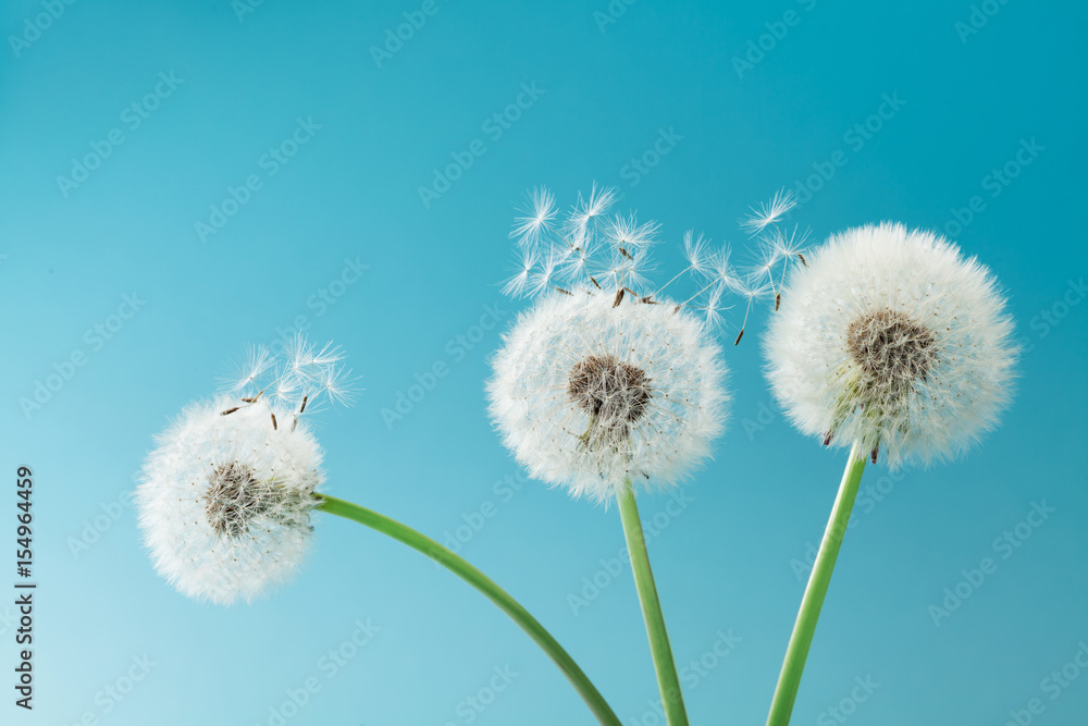 Fototapety, obrazy: Beautiful dandelion flowers with flying feathers on turquoise background.