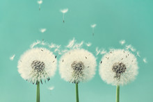 Three Beautiful Dandelion Flowers With Flying Feathers On Turquoise Background.