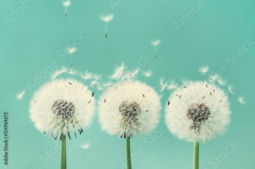 Photo sur Aluminium Pissenlit Three beautiful dandelion flowers with flying feathers on turquoise background.