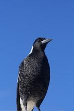 Australian Magpie On A Blue Sky Background