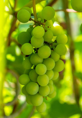 FototapetaPhoto of a branch of green vine grapes