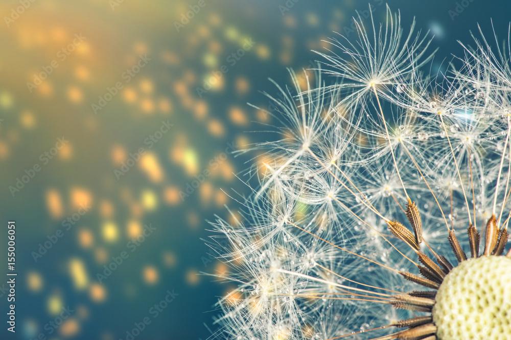 Fototapety, obrazy: Close-up of dandelion seeds on blue natural background