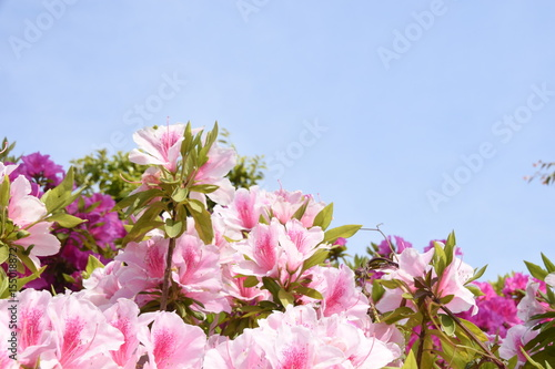 Photo sur Toile Azalea Japanese azalea