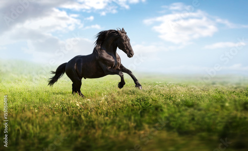 Foto op Canvas Paarden Black horse runs on a green field on clouds background