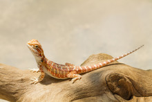 Bearded Dragon (Pogona Vittice...