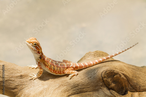 Bearded Dragon (Pogona vitticeps) Poster Mural XXL