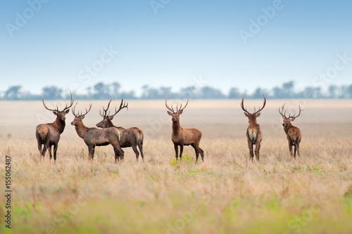 Poster Cerf Deer herd in autumn pasture