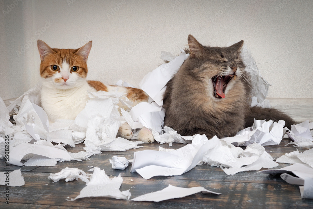 Fototapety, obrazy: Cats tore up important papers and made a mess on the floor. Cat yawns