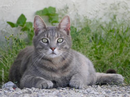 Fotografie, Obraz  beau chat