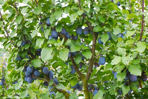 plum tree background