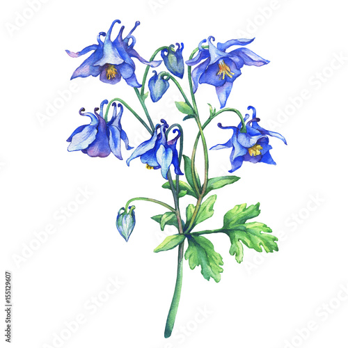 Photo The branch flowering blue Aquilegia (common names: granny's bonnet or columbine)