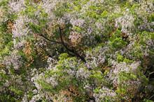 Melia Azedarach Tree